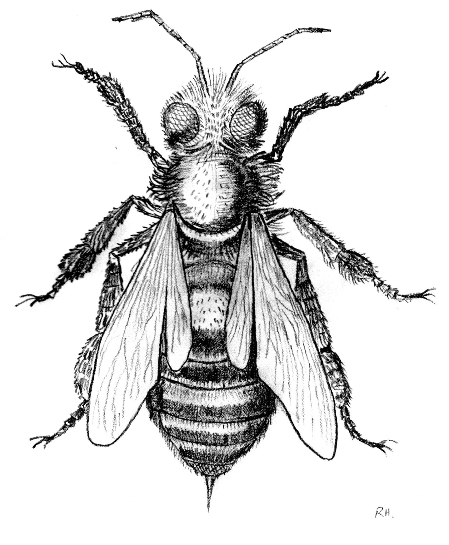 Note My Bee Picture Is Based On Stellutis The First Ever Microscope Drawing